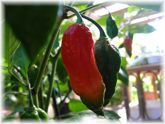 Dorset Naga plant Chillies