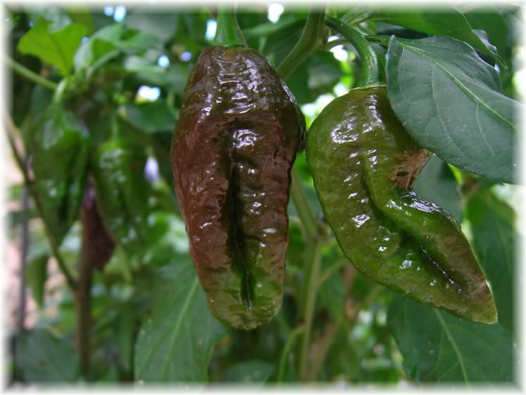 chocolatebhut1 Chillies