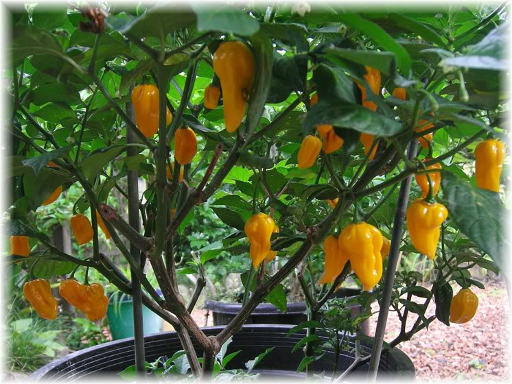 fatalii Chillies