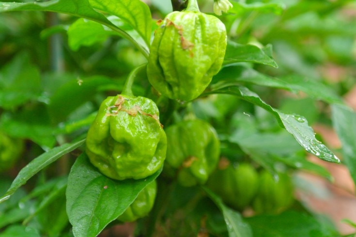 how to make homemade pepper sauce for greens
