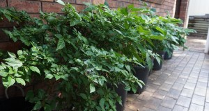 Chili Plants are easy to grow