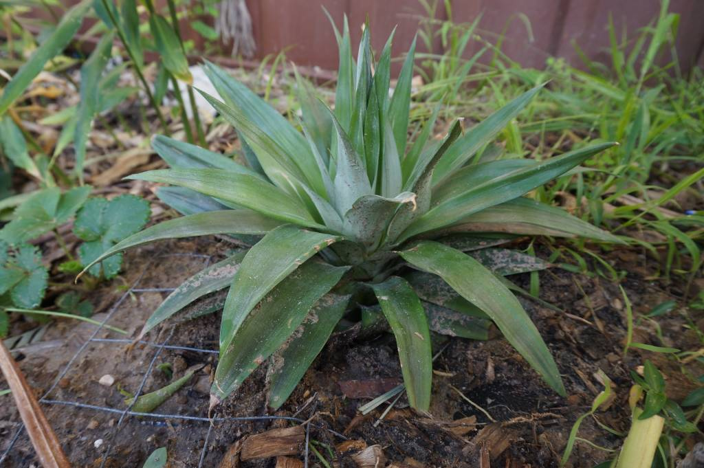 How to grow pineapple homemade hot chili sauce recipes for How do i plant a pineapple top